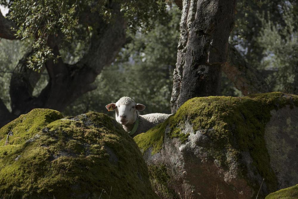 Portugal alentejo marvao cork oak granit sheep20180829 76980 1ruskri