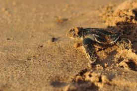 Costa rica pacific hatching turtle20180829 76980 yqolzm