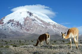Ecuador chimborazo vicunya grazing by volcano c kseniya ragozina 020180829 76980 11p1n5w