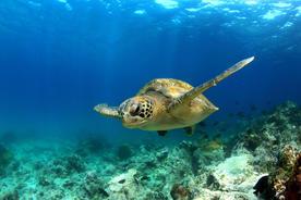 Ecuador galapagos islands green sea turtle swimming underwater20180829 76980 windbn