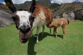 Llama at machu picchu chris bladon
