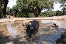 Spain andalucia aracena hills bathing pigs at jamones eiriz20180829 76980 sp6j1v