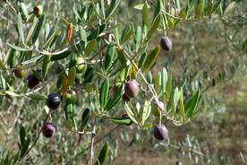 Spain andalucia aracena hills olives nearing harvest20180829 76980 z6hwls