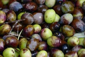Spain catalonia freshly picked olives copyright thomas power pura aventura