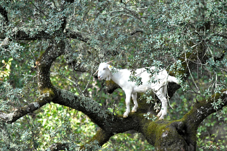 Goats In Trees Calendar 2012 2014 Photo High...