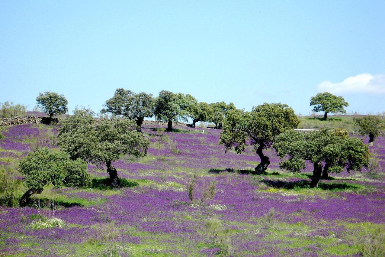 spain-andalucia-aracena-purple-flowers-dehesa