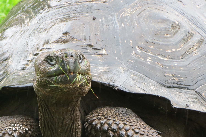 Highland tortoise, Santa Cruz