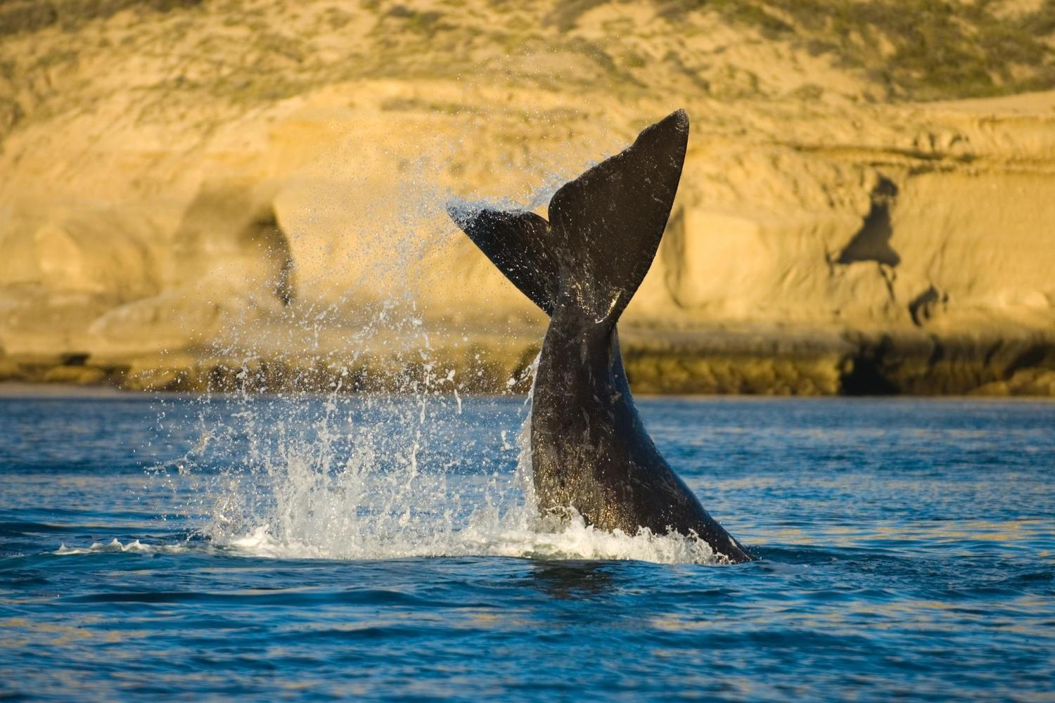 argentina-peninsula-valdes-southern-right-whale