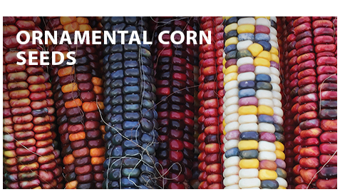 Ornamental Corn Seeds