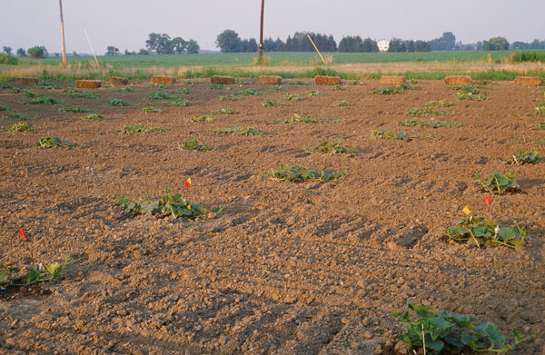 Gourd field after planting