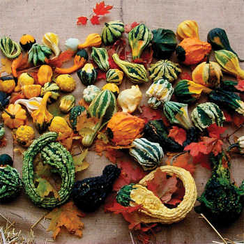 Autumn Wings Blend Gourd