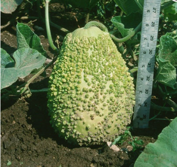 African Warty Gourd