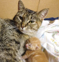 Managing Queens – Cat Pregnancy Problems