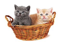 Neonatal Isoerythrolysis in Kittens