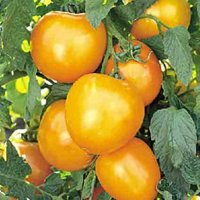 Golden Jubilee Tomato