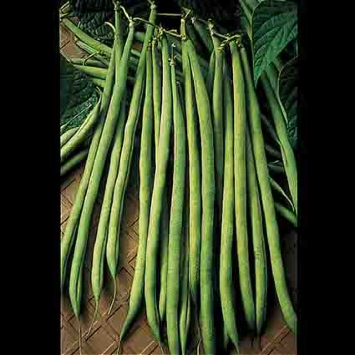 Maxibel French Filet Bush Bean