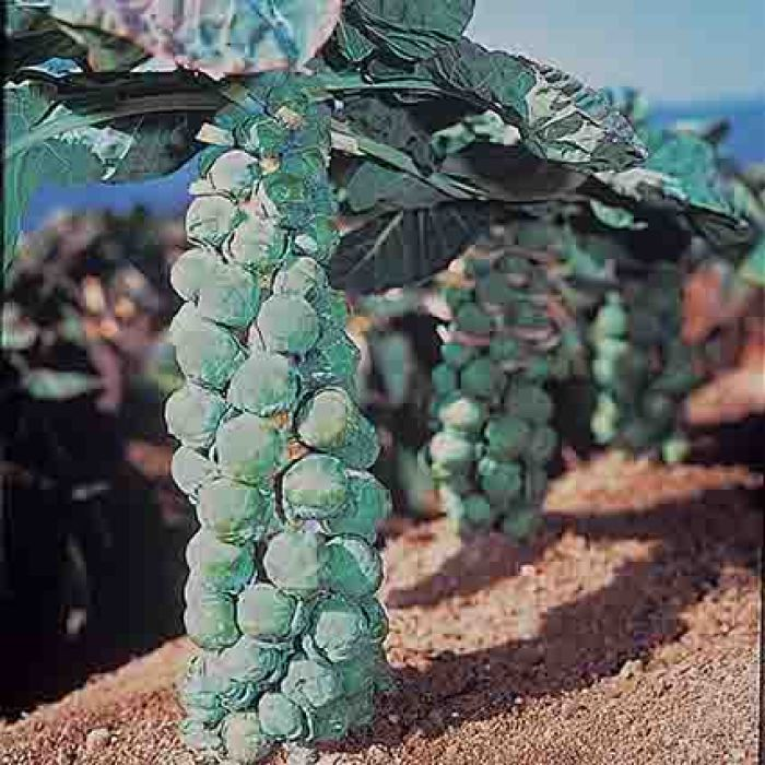 Jade Cross Hybrid Brussels Sprouts