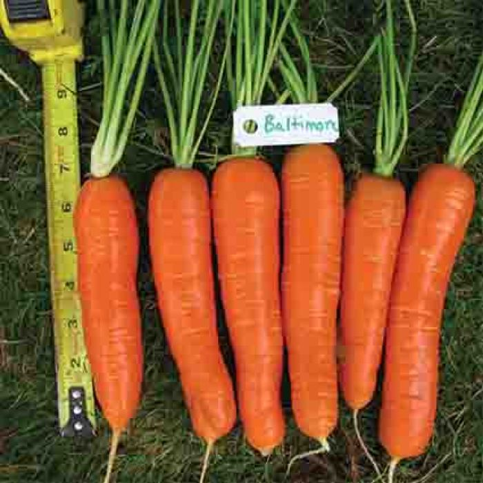 Baltimore Hybrid Carrot