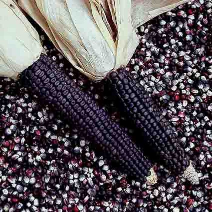 Blue Dent Ornamental Corn
