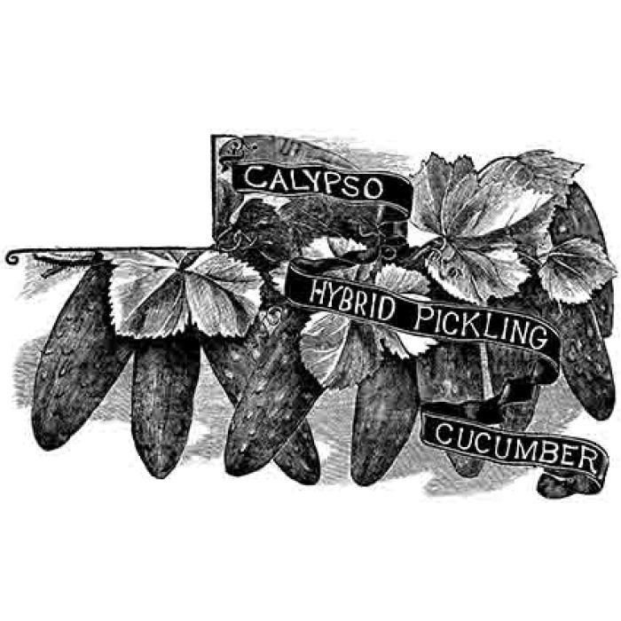 Calypso Hybrid Pickler Cucumber