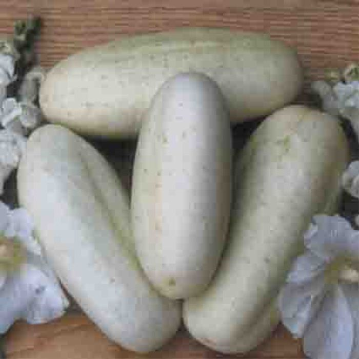 White Wonder Cucumber