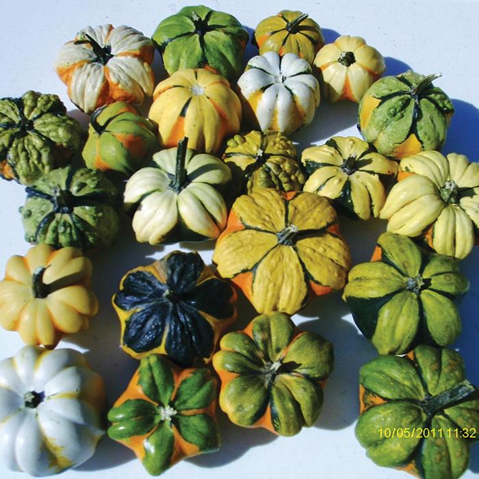 Daisy Mix Gourds
