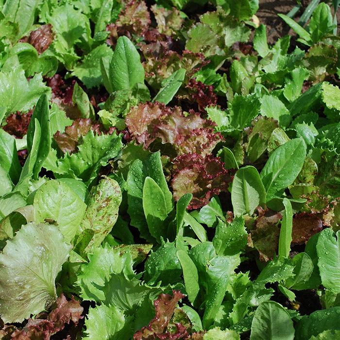 Heirloom Cutting Mix Lettuce