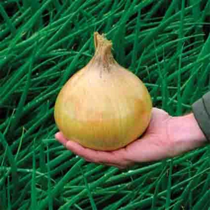 Ailsa Craig Giant Exhibition Onion