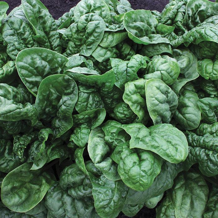 Avon Hybrid Spinach