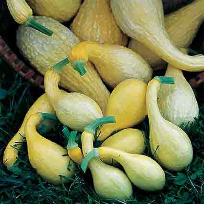Early Golden Summer Crookneck Squash