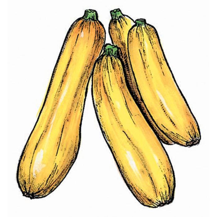 Golden Zucchini Squash