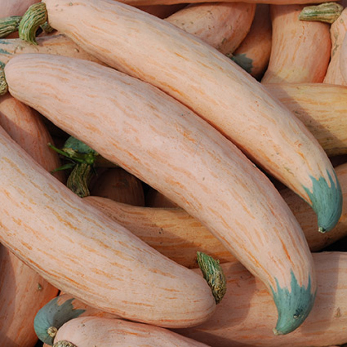 No Georgia Candy Roaster Winter Squash