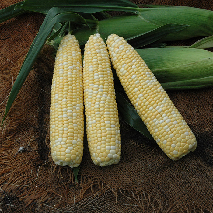 First Lady Hybrid Sweet Corn