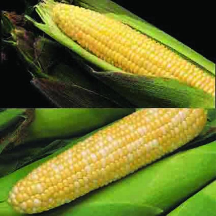 All Season Eh Sweet Corn Feast