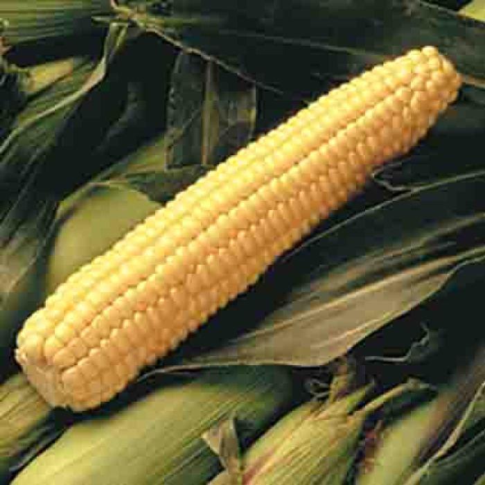 Early Sunglow Hybrid Sweet Corn
