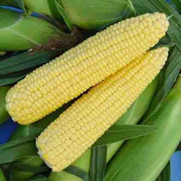 Florida Stay Sweet Hybrid Sweet Corn