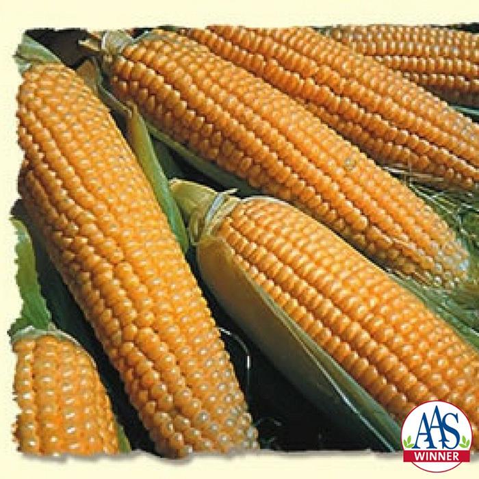 Iochief Hybrid Sweet Corn