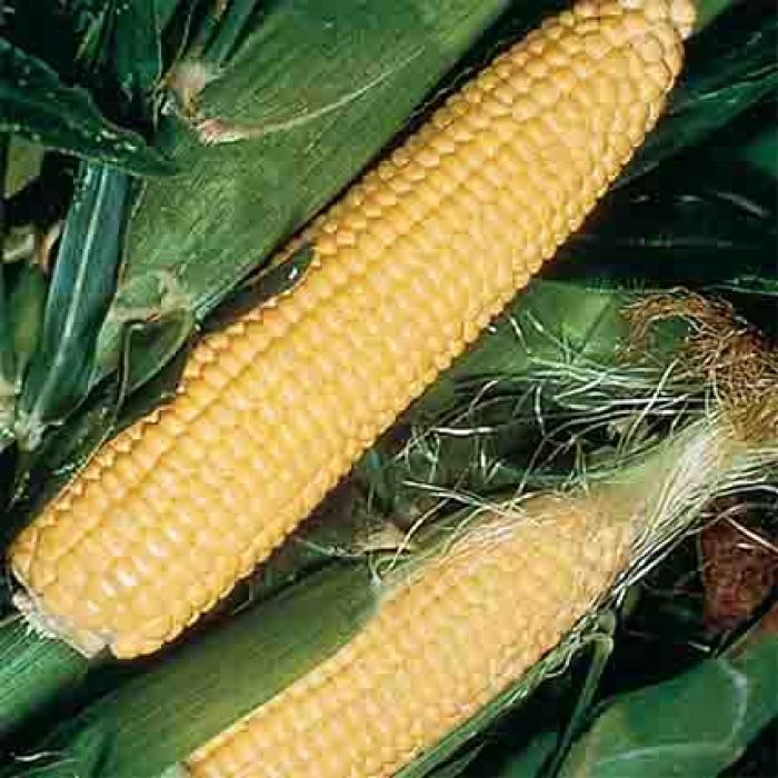 Golden Jubilee Hybrid Sweet Corn
