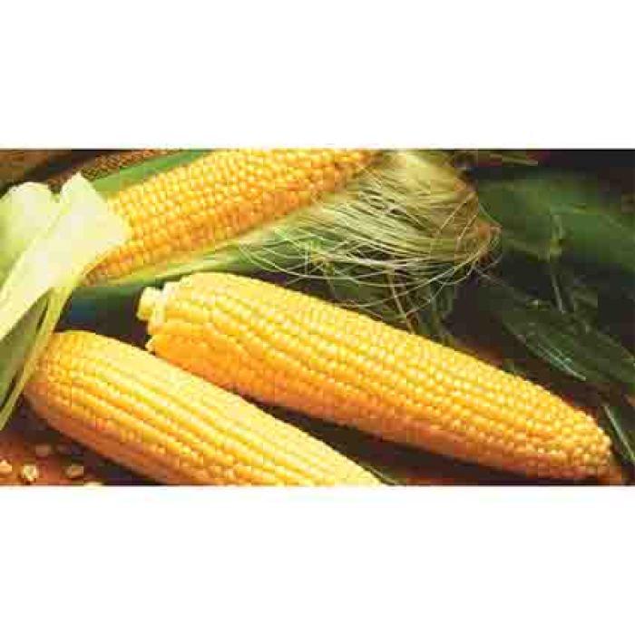 Miracle Hybrid Sweet Corn