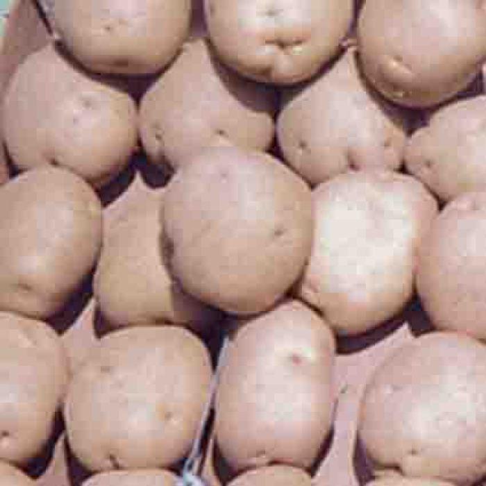 Superior Potato