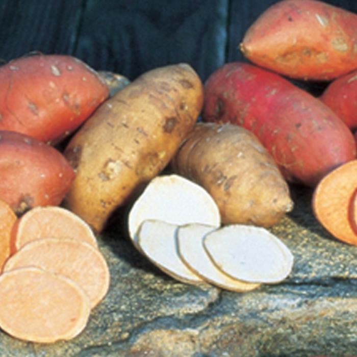White Yam Sweet Potato