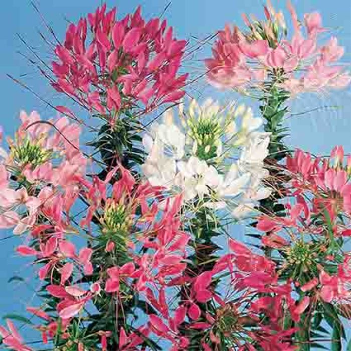 Queen Mixed Cleome