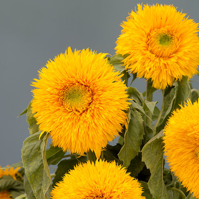Double Sunking Helianthus