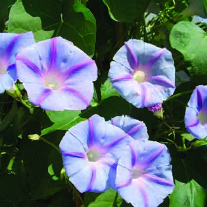 Old Fashioned Blue Star Morning Glory