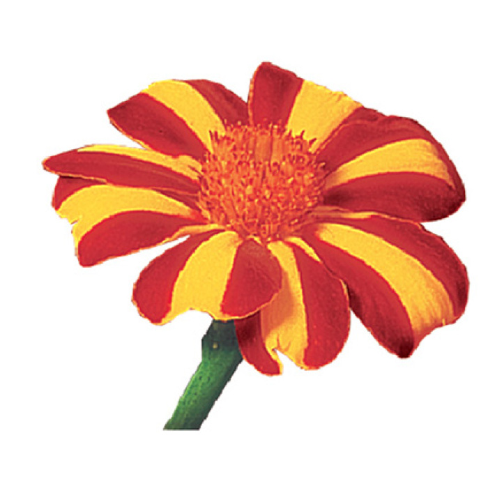 French Harlequin Marigold