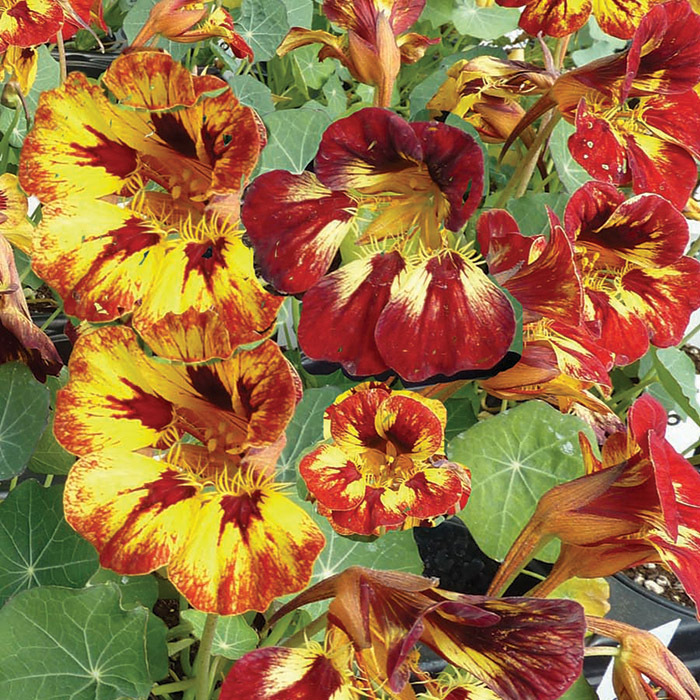 Orchid Flame Nasturtium