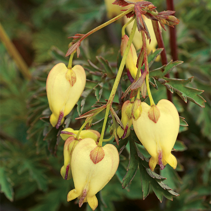 Sulphur Hearts Bleeding Heart