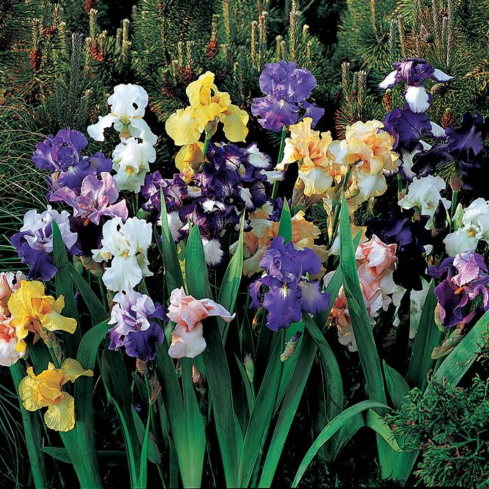 German Bearded Iris Mix
