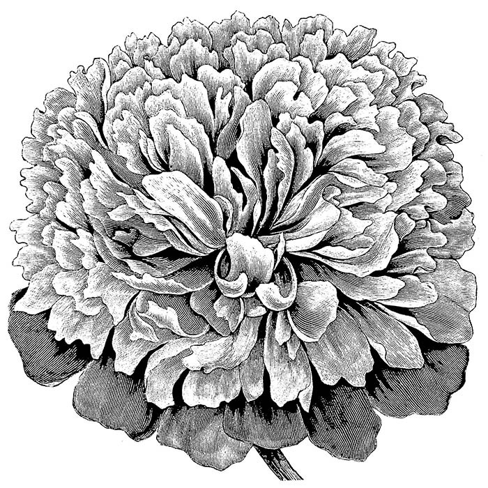 Giant Flowered Peonies