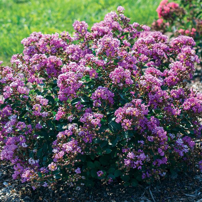 Grape Bellini Crepe Myrtle
